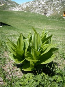 Wild White Hellebore (Veratrum album), whose roots contain a potent neurotoxin which was one of the poisons Africanus advocated utilizing.